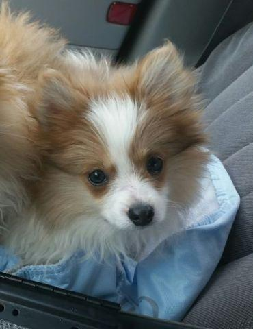 male pomeranian for sale akc male pomeranian puppy for sale in fowler indiana 9575