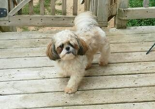 Akc Male Shih Tzu Puppy 10 Months Old For Sale In Wild Rose