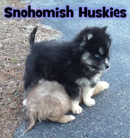 AKC Male Siberian Husky, 10 Weeks, Black & White w/Blue ...