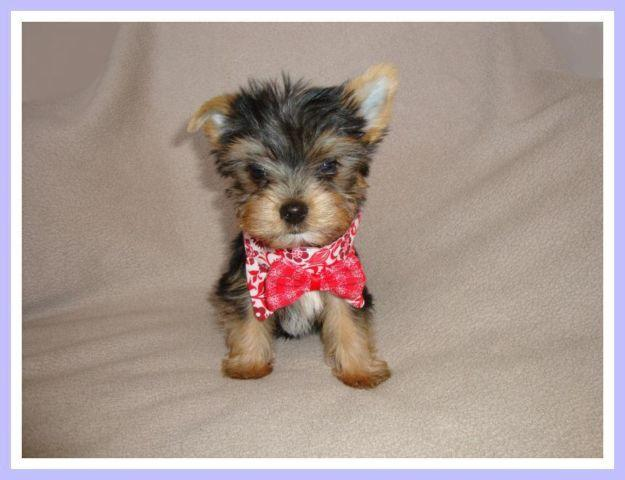 yorkie coloring pages akc - photo#11