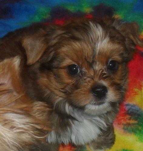 Akc Male Yorkie/yorkshire Terrier