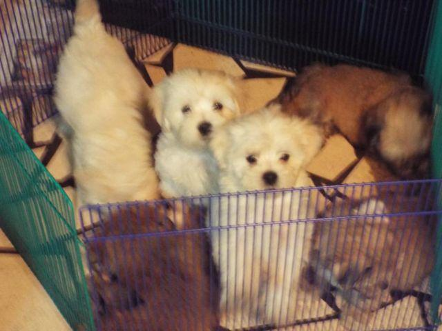 AKC MALTESE+AKC LHASA APSO=CKC LHATESE PUPPIES/ALSO TOY