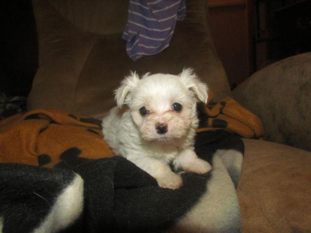 AKC Maltese puppies 6 ...