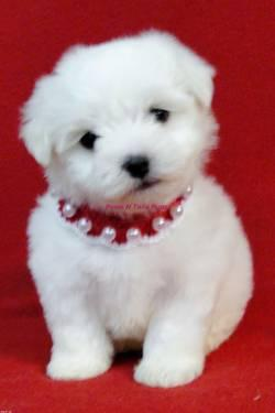 AKC Maltese Puppies for Sale in Sallisaw, Oklahoma