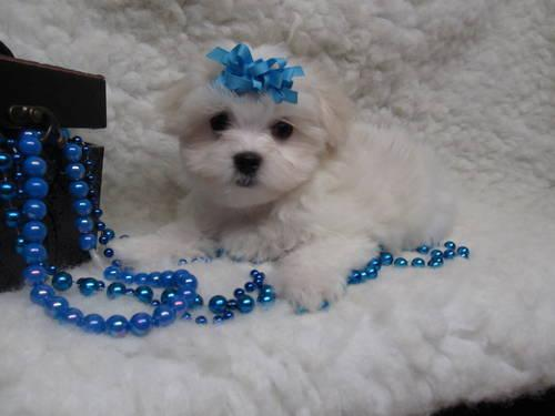 maltese puppies for sale in oklahoma akc maltese puppies for sale in atoka oklahoma classified 3883