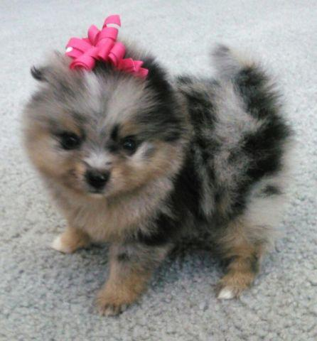 blue pomeranian for sale akc merle pomeranian puppies for sale in murrieta 5153