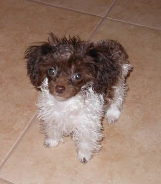 Akc Micro Teacup Chocolate Parti Poodle Girl For Sale In