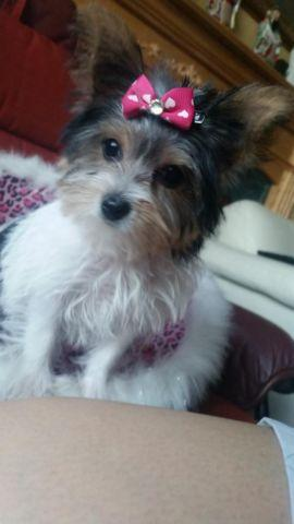 AKC Micro Teacup Parti Female &Teacup Male Yorkshire ...