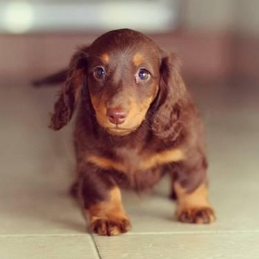 Mini Dachshund Pets And Animals For Sale In The Usa Puppy And