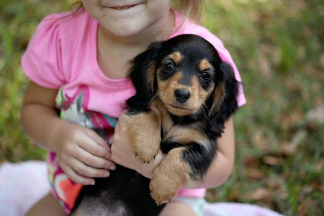 Akc Mini Dachshund Puppies For Sale In Belleview Florida Classified