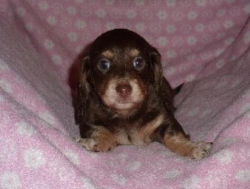 Akc Mini Dachshund Puppies For Sale In Estacada Oregon Classified