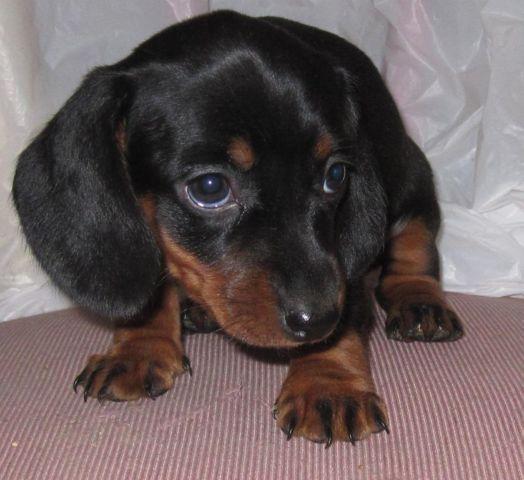 AKC Mini Dacshunds females 8 weeks microchipped for Sale ...