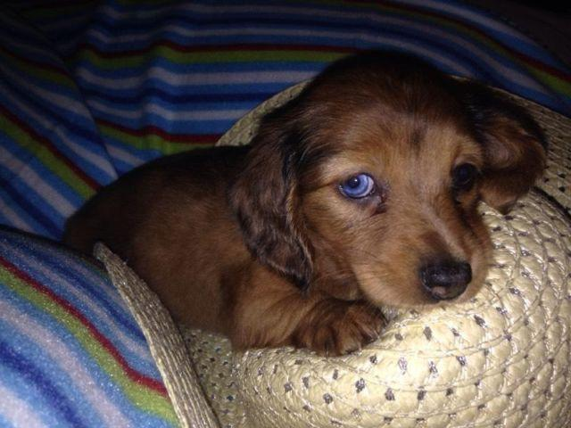 AKC Mini Dapple Dachshund Mother's Day Puppy for Sale in Conroe