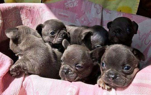 Akc Mini French Bulldog Puppies Available For New Homes For Sale In Ann Arbor Michigan Classified Americanlisted Com