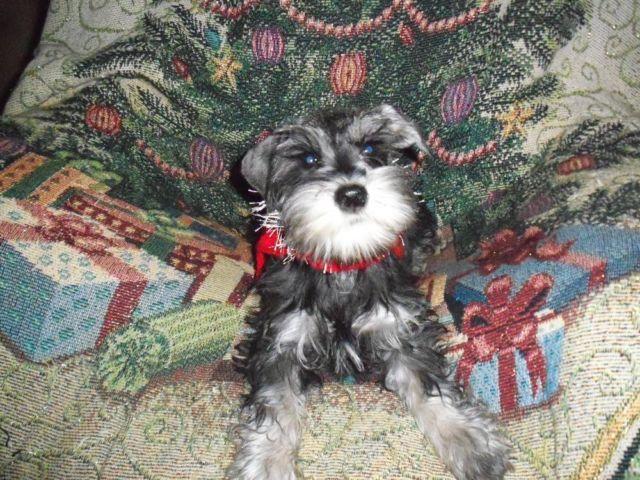 AKC registered mini schnauzer puppies in CA in Fresno