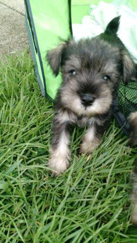 Schnauzer Puppies For Sale In Panama City Florida