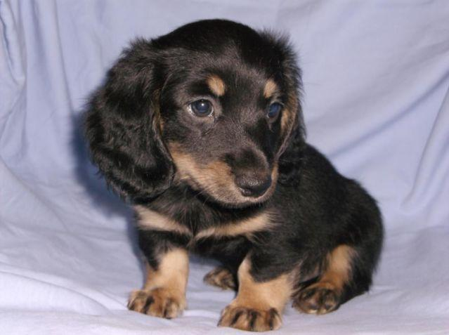 Cream Dachshund Pets And Animals For Sale In Kentucky Puppy And