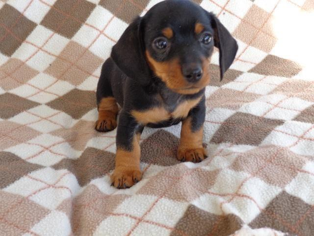 AKC Miniature Dachshund Puppies--6 weeks old--