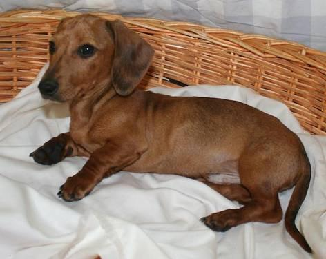Dachshund Puppies For Sale In Michigan Classifieds Buy And Sell In