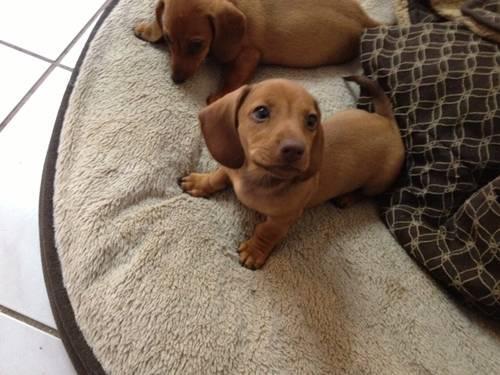 dachshund breeders local standard dachshund breeders dachshund stud ...