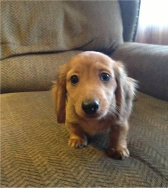 Dachshund For Sale In Kentucky Classifieds Buy And Sell In