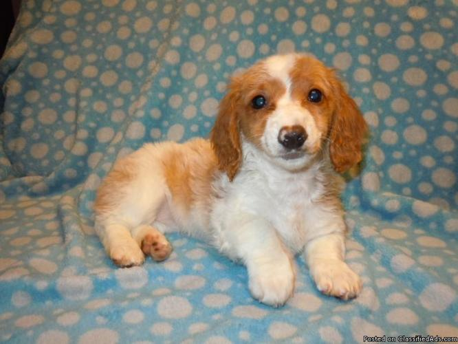 Akc Miniature Dachshund Puppies For Sale In Greer South Carolina Classified Americanlisted Com