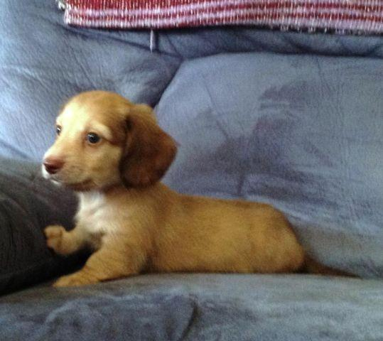 AKC Miniature Dachshund Puppies