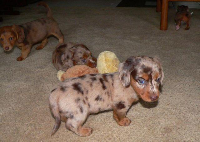 Akc Miniature Dachshunds Long Haired Chocolate Dapple Solid