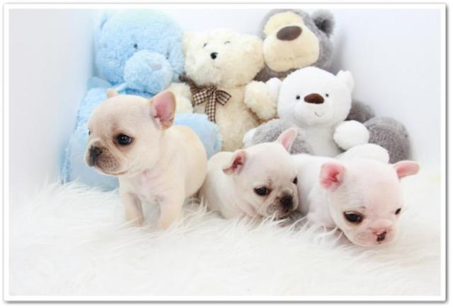 Akc Miniature French Bulldog Puppies For Sale In Los Angeles