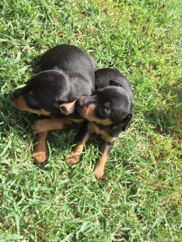 Miniature Schnauzer Puppies Pets And Animals For Sale In Greensboro