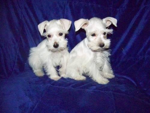 Eukanuba Puppy Food >> AKC Miniature Schnauzer puppies 12wks price reduced for Sale in Cols Grove, Ohio Classified ...
