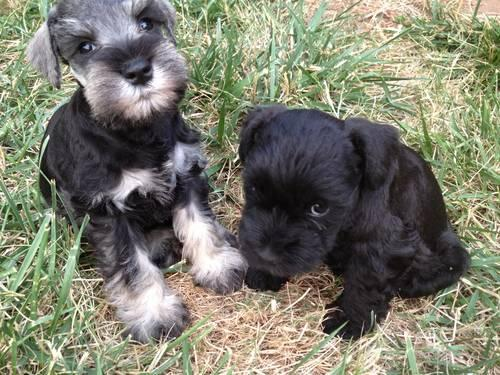 Akc Miniature Schnauzer Puppies For Sale In Grants Pass Oregon Classified Americanlisted Com