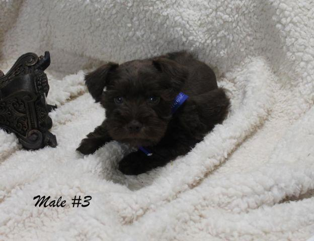 Akc Miniature Schnauzer Puppies For Sale In Beaumont Texas
