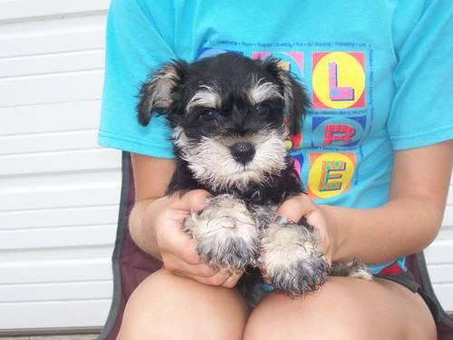 AKC Miniature Schnauzer Puppy (Male)