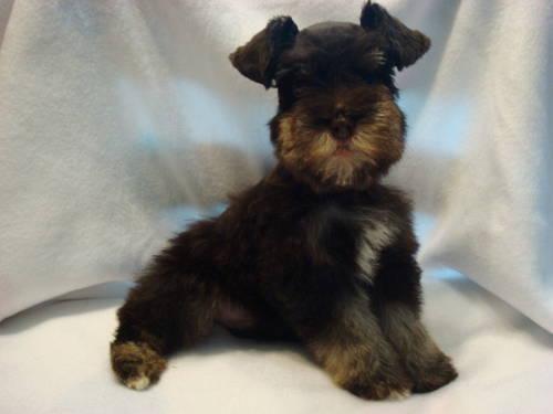 AKC Miniature & Toy Schnauzer Puppies Coming Fall 2013 ...