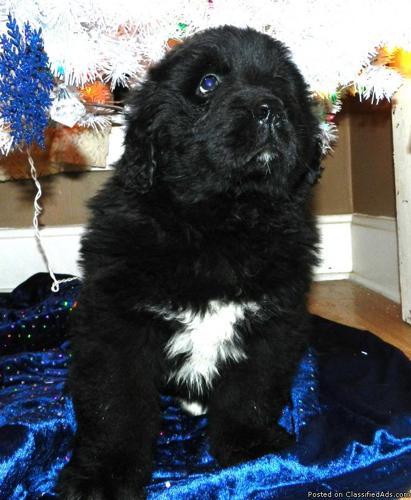 AKC Newfoundland pup
