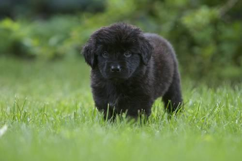 Newfoundland Puppies for Sale | PuppySpot