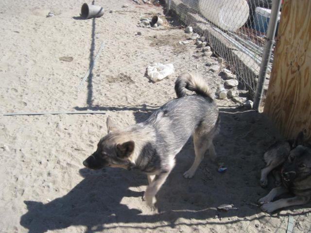 AKC Norwegian Elkhound