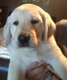 English labs puppies for sale in california