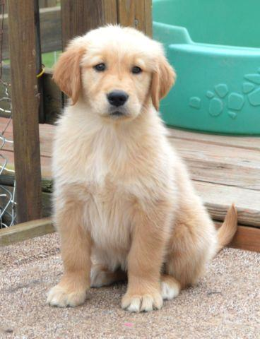 AKC, OFA Golden Retriever Puppies