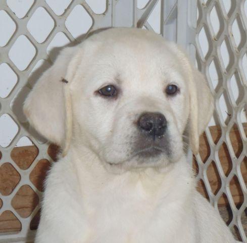 AKC OFA WHITE English Labrador