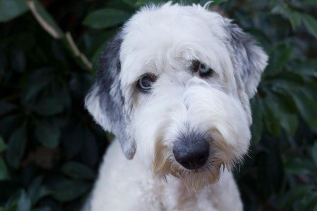 AKC Old English Sheepdog rescue for Sale in Vista
