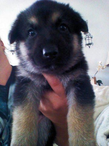 German Shepherd Puppies In Sc Pets And Animals For Sale In San