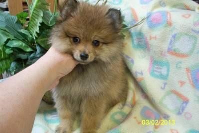 AKC Orange Female Pomeranian Puppy - Ready to Go