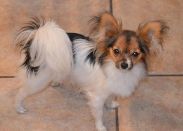 AKC papillon 11 month girl