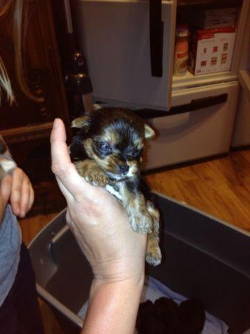 AKC Parti carrier Yorkie puppies