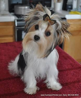Akc Parti Colored Yorkshire Terrier Puppies For Sale