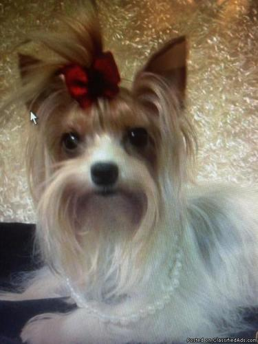 Akc Parti Micro Teacup Baby Girl Yorkie For Sale In Toomsboro