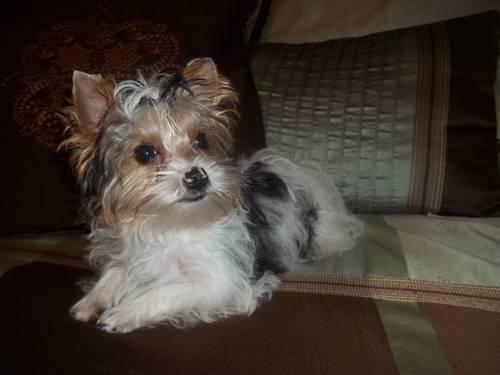 Akc Parti Yorkie Yorkshire Terrier 17 Wks Old Female For