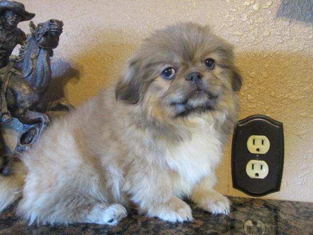 Akc Pekingese Puppies - Goldenacresdogs com
